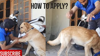 How to apply Coconut oil on dog skin?   Applying Coconut oil on my labrador- Oscar the labrador