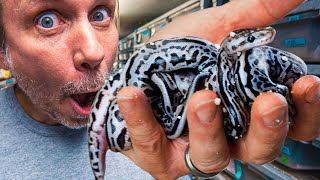 Descargar Silver And Blue Snakes Hatch Super Lori Leopards Brian Barczyk Mp3 Musica Gratis