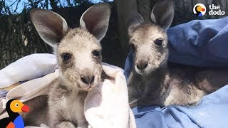 Baby Kangaroos Rescued, Raised and Released by Adorable Couple | The Dodo