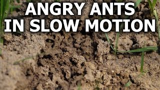 Angry Ants in Slow Motion