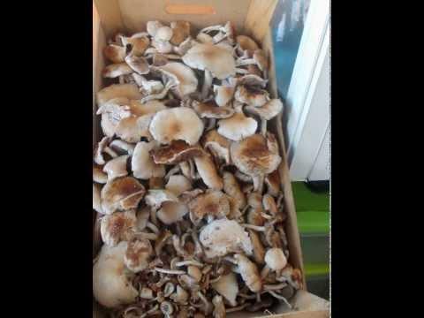 Unghia di fungo di l_kuvannya