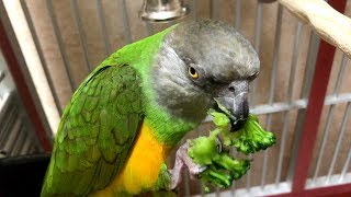 Kili Senegal Parrot Eats Broccoli