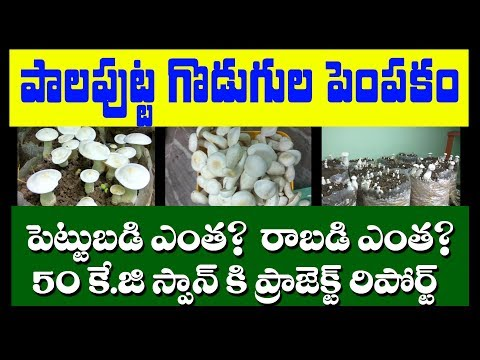Milky Mushroom Cultivation in telugu | how to cultivate mushrooms in 2019