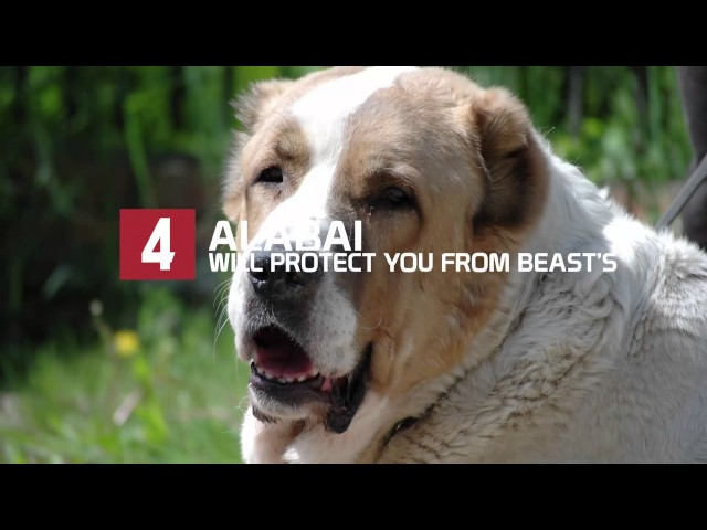 Sunday Treat: Top 10 Dogs That Protect you From Beast