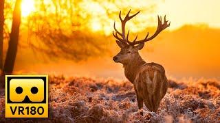 Beautiful Forest Wildlife in VR180 🦌 Deers & Elks - Relaxing 3D Virtual Reality Experience
