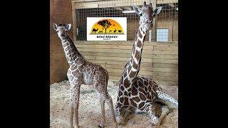 Animal AdventurePark: Giraffe Cam