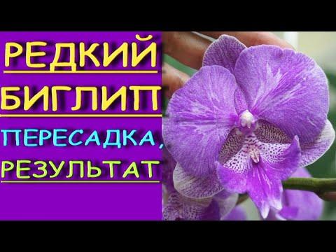 """Орхидеи.ТОТ,редкий,БИГЛИП из """"Юга"""":пересадка,РЕЗУЛЬТАТ.Фаленопсис."""