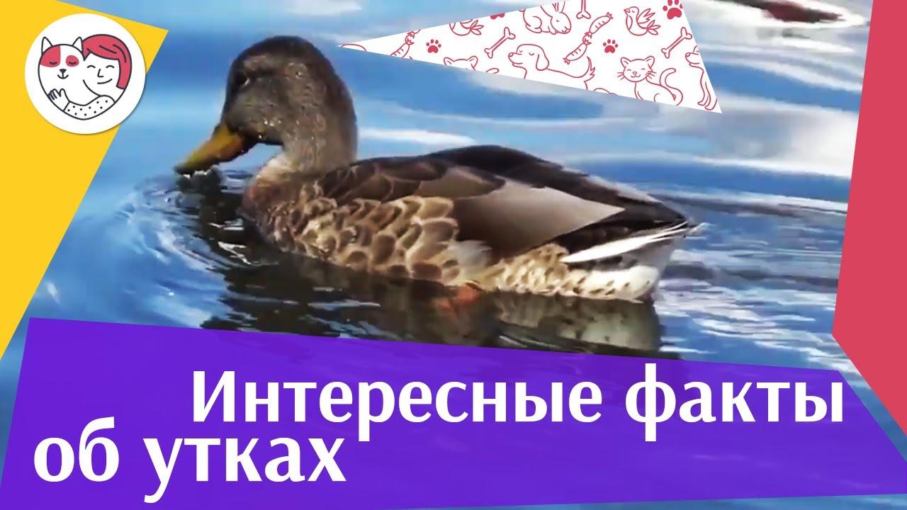 5 необычных фактов о диких утках на ilikepet