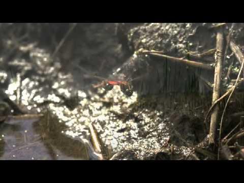 秋茜の産卵 高速度ビデオ