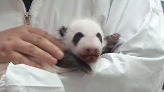 パンダの赤ちゃん、一般公開始まる和歌山「アドベンチャーワールド」