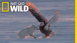 """Why Is This Arctic Fox 'Dancing"""" With a Snowy Owl?   Nat Geo Wild"""