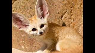 Facts About the Elusive Little Fennec Fox