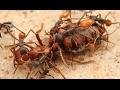 """Regardez """"Des fourmis décapitent leur reine - ZAPPING SAUVAGE"""" sur YouTube"""