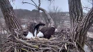 Decorah Eagles 1-15-19, 8 am visit, Mom flies to another tree