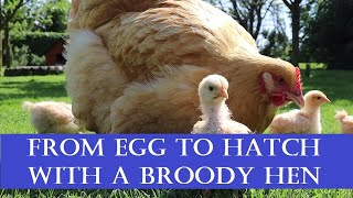 From Egg to Hatch with a Broody Hen