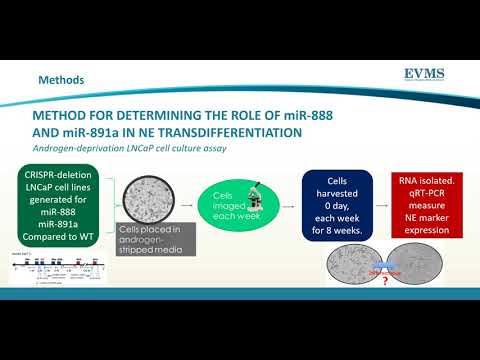 Thumbnail image of video presentation for LNCaP prostate cancer cells carrying miR-888 or miR-891a CRISPR-deletions show modulated neuroendocrine transdifferentiation.