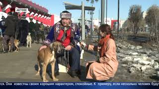 Сколько стоит чистокровная казахская тазы?