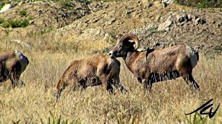 California Bighorn Sheep Ovis canadensis californiana