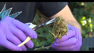 How to Hand-Trim Your Cannabis: The Boutique Technique - Derek Gilman / Green Flower
