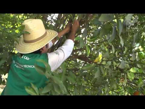 SENAR em Campo: Fruticultura – Como combater a mosca da fruta