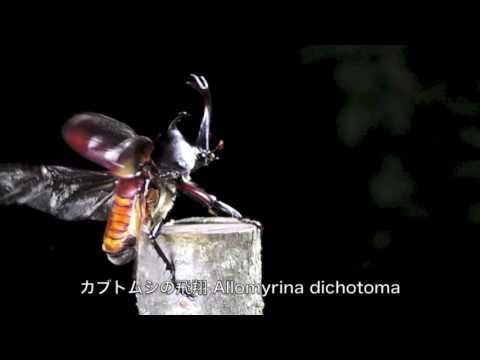 カブトムシの飛翔 Allomyrina dichotoma