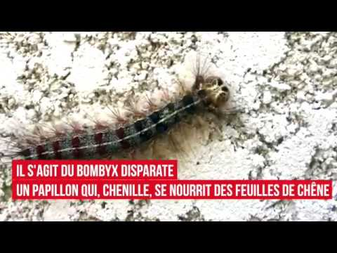 VIDÉO. Des millions de chenilles envahissent l'Extrême-Sud de la Corse