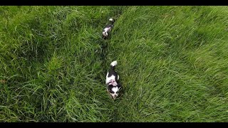 DJI FPV Chased By Two Little Dogs
