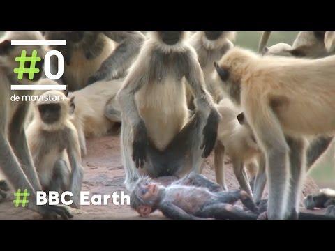 Un Mono Langur Robot Se Infiltra En Grupo De Monos