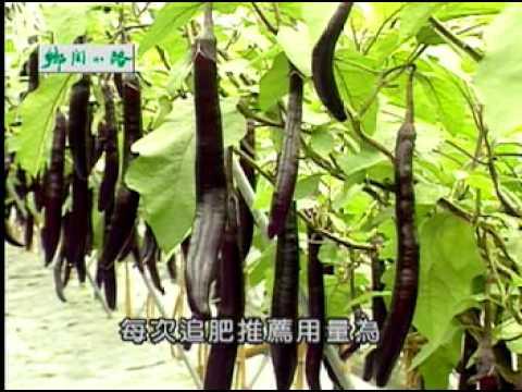 為我們的土地量身減肥 合理化施肥   茄子