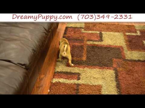 Stunning Puggle Male Puppy 5