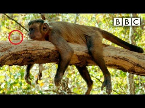Malpě se nedaří rozlousknout ořech - Spy in the Wild