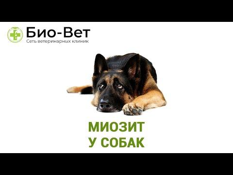Миозит у собак.  Ветеринарная клиника Био-Вет.