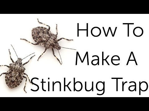 stink bug control how to get rid of stink bugs. Black Bedroom Furniture Sets. Home Design Ideas