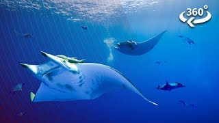 Diving Underwater With Elusive Devil Rays
