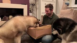 PHIL BITES SHANE!! HE CONFUSES SHANES THUMB FOR A SAUSAGE! ALASKAN MALAMUTE