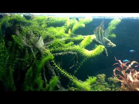 Difesa uova Pterophyllum scalare Wild