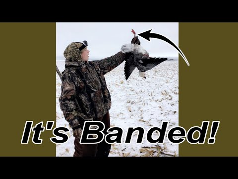 jump-shooting-over-10000-snow-geese-shot-a-banded-goose
