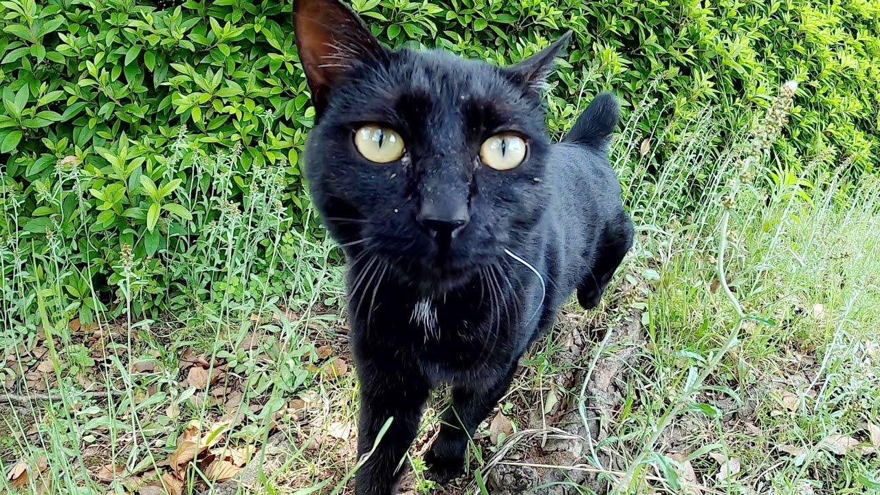 短い尻尾の黒猫、警戒しながらもキレイな瞳でジッと見つめてくる