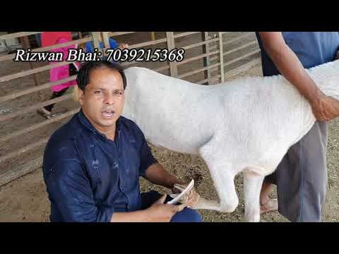 , title : 'Hoof Trimming of Goats and some information | Khur cutting