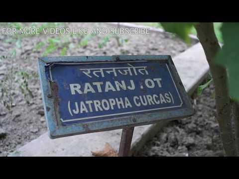 Video DIWAN SINGH BISHT, RATANJOT- JATROPHA CURCAS