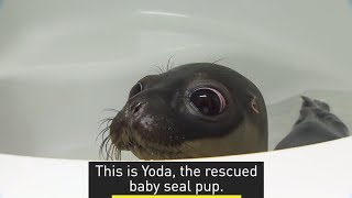 Meet Yoda, a rescued baby seal