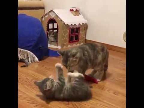 Anteprima Video Ma che peste di gattino...un vero diavoletto