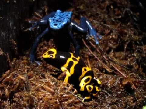 Yellow-Banded Poison Dart Frog at the Tennessee Aquarium
