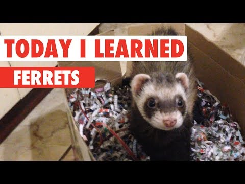 Today I Learned: Ferrets