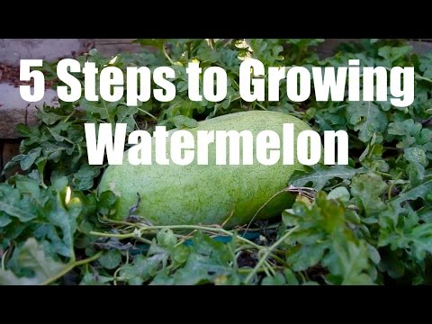 , title : '5 Steps to Growing Watermelon