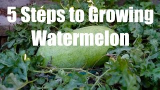 5 Steps to Growing Watermelon