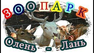 █ Лань / Олень МАЛЕНЬКИЙ / ZOO Для ДЕТЕЙ / Deer