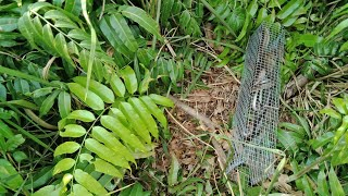 Thăm bẫy rắn  lần đầu tiên gặp 3 con rắn dính  1 lòng mà chuột vẫn còn nguyên