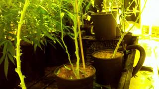 How To Lollipop Cannabis Plants!