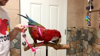 Santina Green Winged Macaw - Can You Put on a Harness with One Hand?